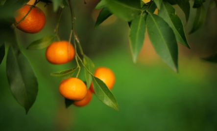 Bernal Diaz says he planted the first Orange seeds in America.