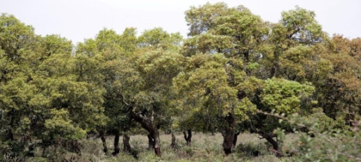 The Cork Oak Forest that alongside other common trees draped Sardinia. giarasardegna.it .